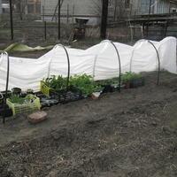 Как я спасала подмерзшую рассаду томатов