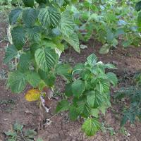 Помогите определить сорт малины