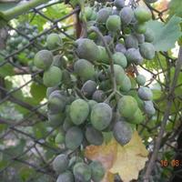 Помогите определить болезнь винограда