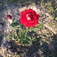 """Шоколадная диковинная роза флорибунда """"Горячий шоколад"""""""
