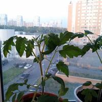 Помогите определить, что с моими томатами - стали закручиваться листья