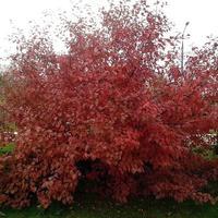 С чем комбинировать декоративную краснолистную яблоню?