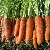О, бейби! Морковь Бейби f1.