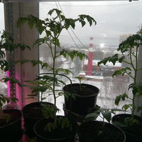 Как остановить рост томата сорта Красная Шапочка от агрофирмы «Поиск»?