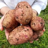 Небольшой секрет, который помогает мне вырастить отличный картофель