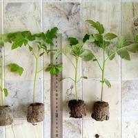 Небольшое сравнение корневой системы рассады при выращивании в разных таблетках