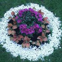 Каталог-таблица цветов для посева семян в грунт - иллюстрации, описание