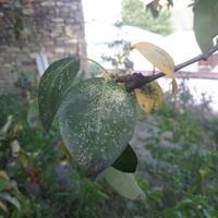 Подскажите, пожалуйста, что это за болезнь на листьях яблонь и груш?