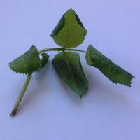 Скручиваются листики на саженце розы флорибунда. В чём причина?