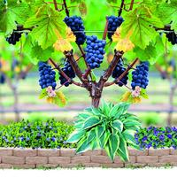 Бордюр для виноградной аллеи