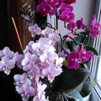 Они не капризные, они самодостаточные! Мои красавицы-орхидеи