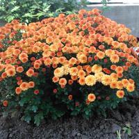 Хризантема мультифлора — яркий огонёк в ночи наступающих холодов