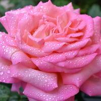 Ах, эти капельки на розовом цветке — природы чудное творение!