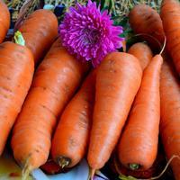 Скажем НЕТ морковной мухе!