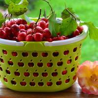 Не пьём, а лечимся! Бояркина ягода на службе здоровью