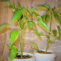 Можно ли в комнатных условиях получить урожай перца?