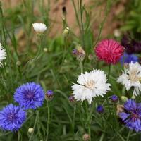 Удивительный цветок - однолетний василек «Комплимент» (смесь)