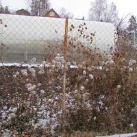 Как вырастить из семян клематис тангутский?