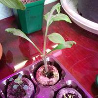 Почему нет точки роста у рассады помидора?