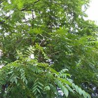 Подскажите, что за удивительное дерево растет у нас в соседнем дворе?!