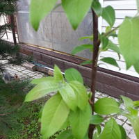 Помогите узнать, что за дерево растет у меня на участке