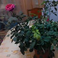 Как подготовить розу к высадке в открытый грунт весной?