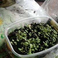 Выращивание ремонтантной клубники из семян: мой личный опыт