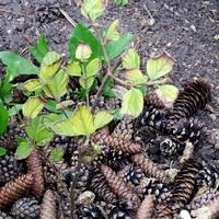 Почему листья гортензии подсыхают, а рост растения останавливается?