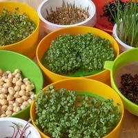 Микрозелень и проростки - живая еда на подоконнике