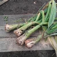 Кто подъедает корни чеснока?