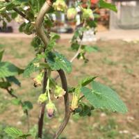 На молодом кустике смородины очень много муравьёв ползает.  Как от них избавиться?