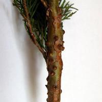 Вздутия на стеблях можжевельника — это что-то вроде воздушных корней или же это признак какого-то заболевания?