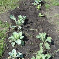 Секрет спасения капусты