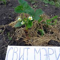 Свит Мэри, июньская авантюра — земляника фриго