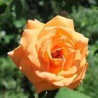 Помогите найти розу хамелеон Looping
