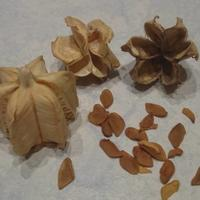 Помогите определить, что за семена