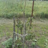 У груши все молодые листики на верхушках стеблей почернели и отвалились. Что с ней случилось?