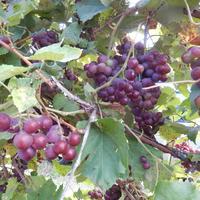 Под виноградом