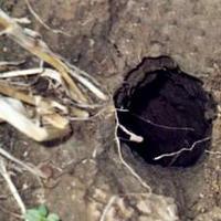 Обнаружила, что под домом поселился хомяк... Как от него избавиться?