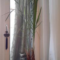 Как правильно пересадить финиковые пальмы?