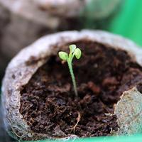 Закручиваются семядольные листья у петуньи. Что делать?