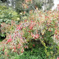 Растение похоже на Фотинию Пильчатую, но край листа сплошной. Что это за растение?