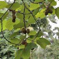Актинидия: разнообразие видов и выращивание в саду