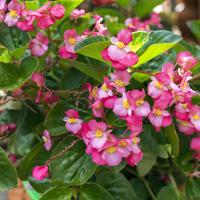Бегонии, цветущие вечно: выращиваем в саду