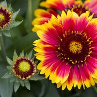 Солнечные гайлардии в вашем саду
