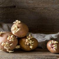 Правда и мифы о вреде проросшего картофеля