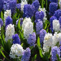 Гиацинты в вашем саду: посадка и уход