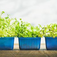 Огород - круглый год! Выбираем семена для огорода на подоконнике