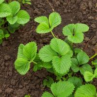 Почему не цветёт земляника садовая: 10 причин - явных и не очень