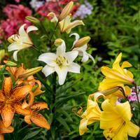 Как вырастить лилии и добиться шикарного цветения. Тонкости посадки и ухода